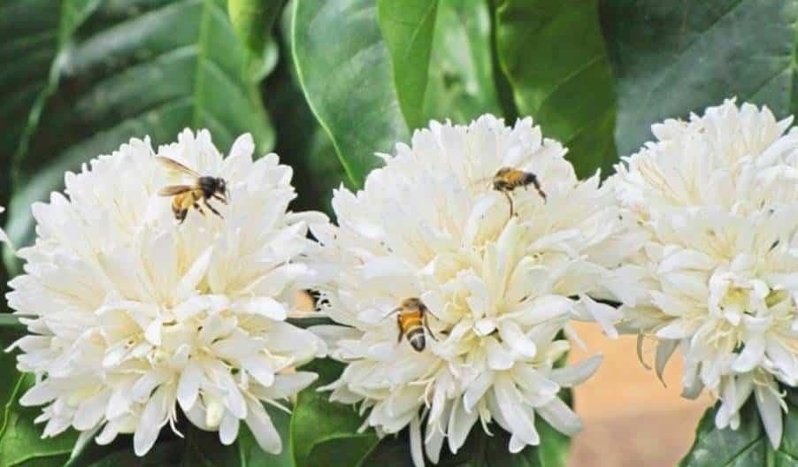 mật ong hoa cà phê daklak